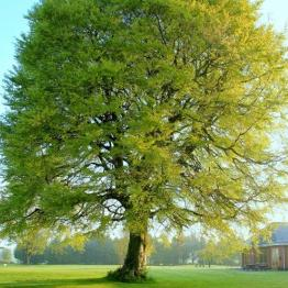 Edenderry Golf Club Tree